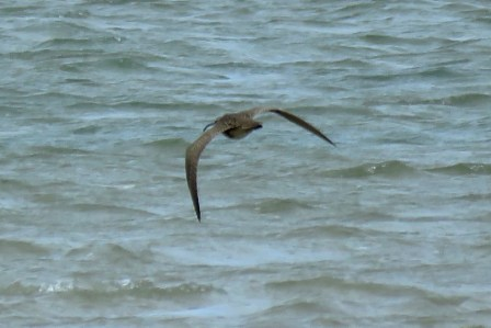 Hudsonian Whimbrel (Church Norton)