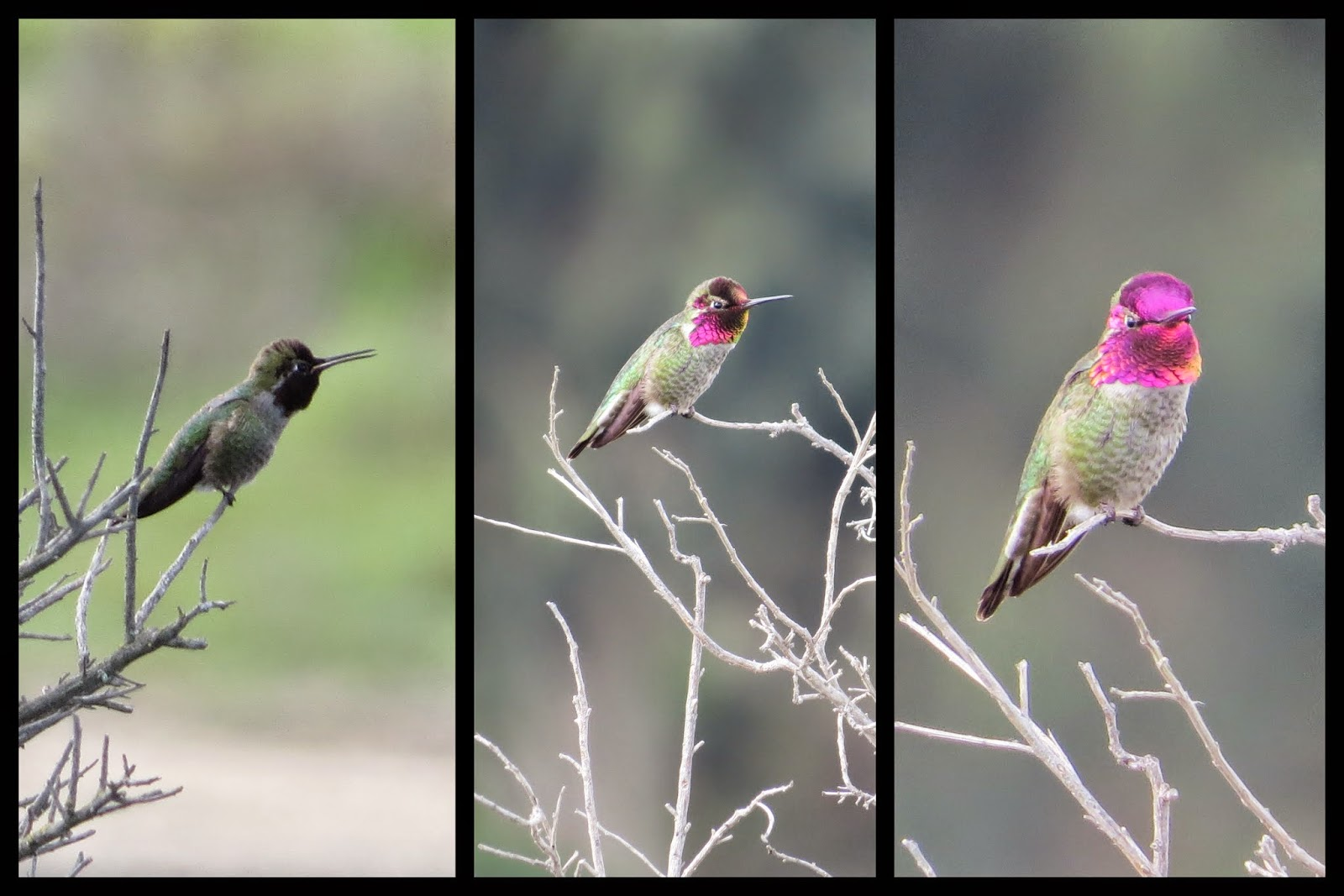 Hummingbirds at Palo Alto Baylands