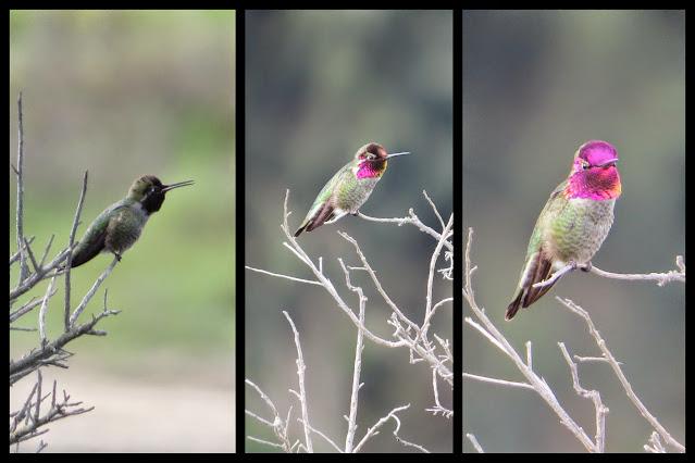 SF Bay Area Birds: Hummingbirds at Palo Alto Baylands