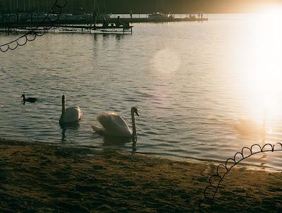 Zdjęcie wykonane nad polskim jeziorem - grupa łabędzi.