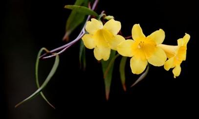 Gambar bunga melati terbaik yang kami miliki akan kami suguhkan untuk anda semua Kumpulan Gambar Wallpaper Bunga Melati Terbaik