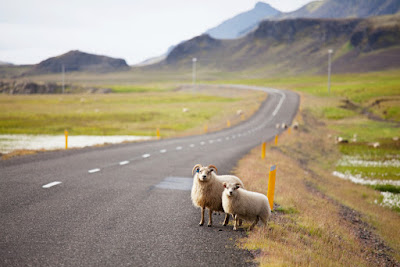 Oveja en la montaña Islandesa