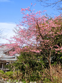 光明寺の河津桜