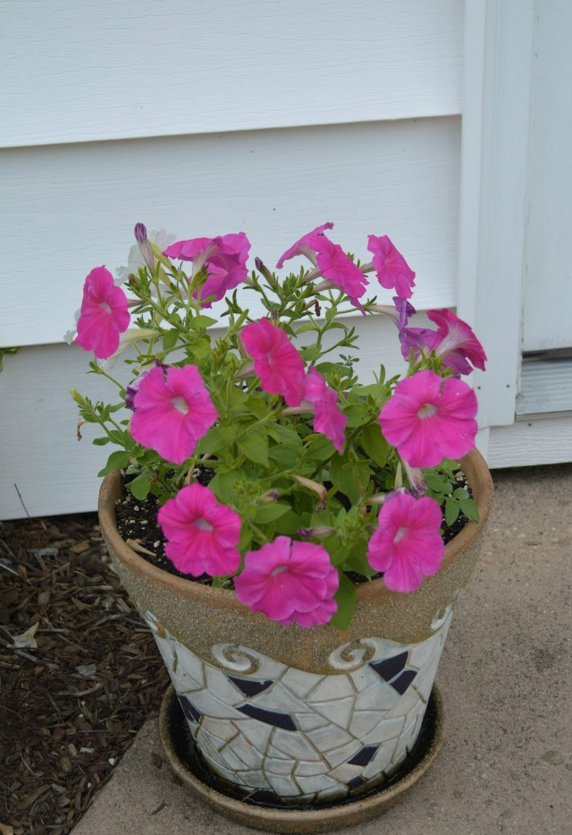 Pink Petunias in a mosaic pot