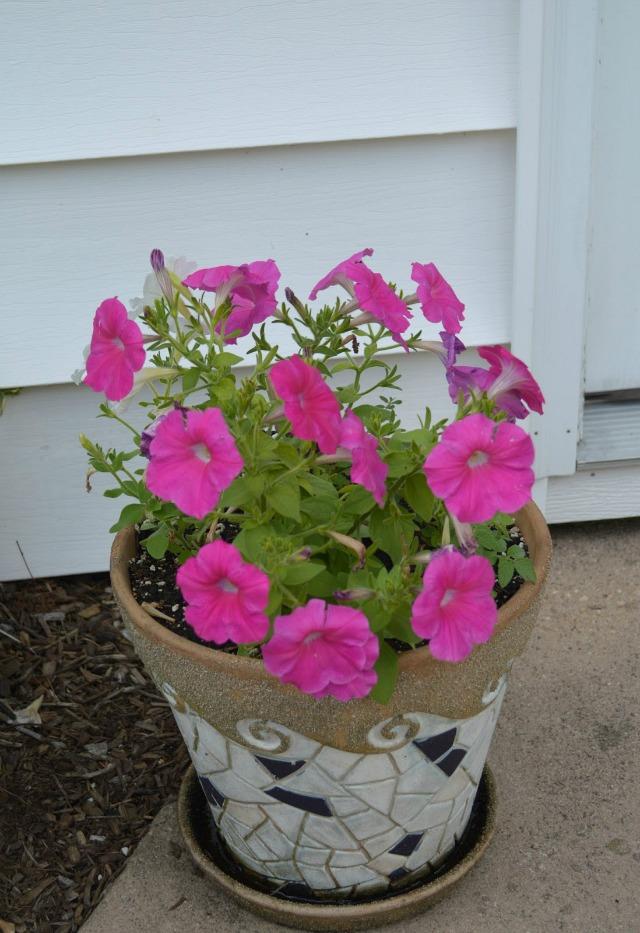 Pink Petunias in a mosaic pot