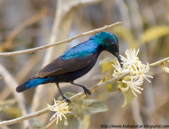 sunbird having nectar from flowers in pbel city