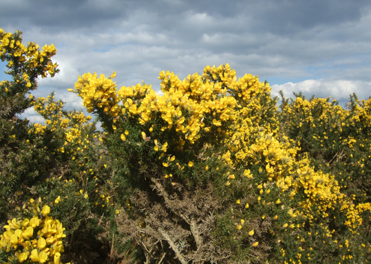 Gorse Is Out Of Bloom When Kissing S Out Of Fashion
