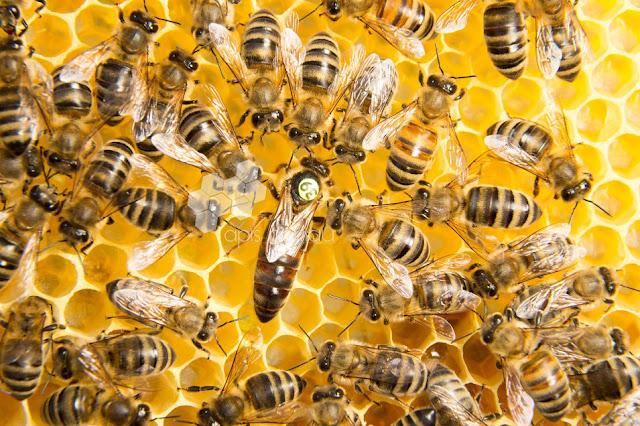 أسرار عالم النحل  :مشاهد من الزفاف الملكي