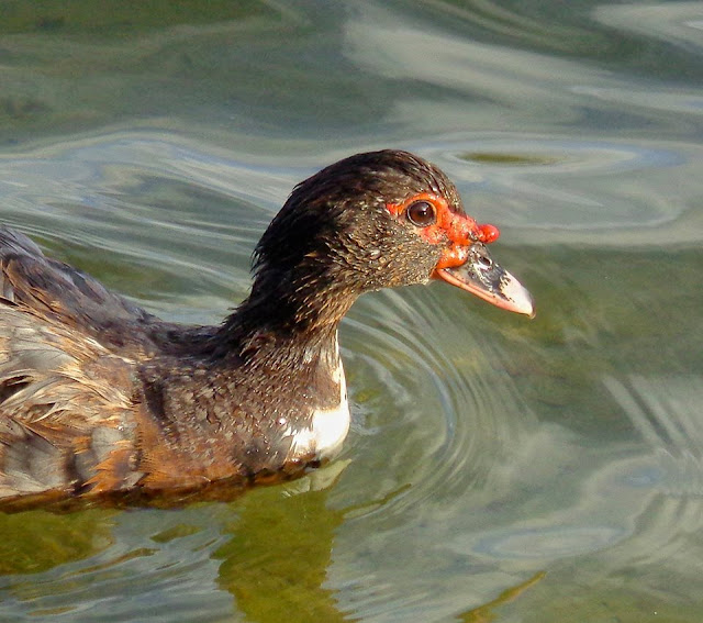 Muscovy Duck helped by South Florida Wildlife Center