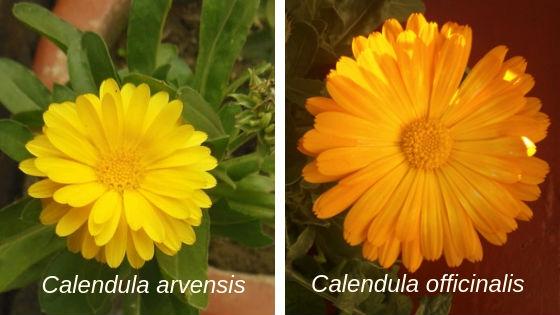 Para hacer el aceite de podemos utilizar Calendula arvensis tiene las mismas propiedades de la C. officinalis