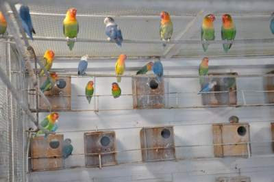 Cara menentukan ukuran glodok lovebird, kenari, murai yang ideal agar produksi tinggi dan telur menetas semua