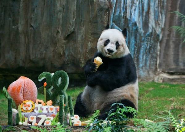 panda géant record