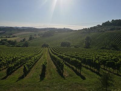 vigne conero