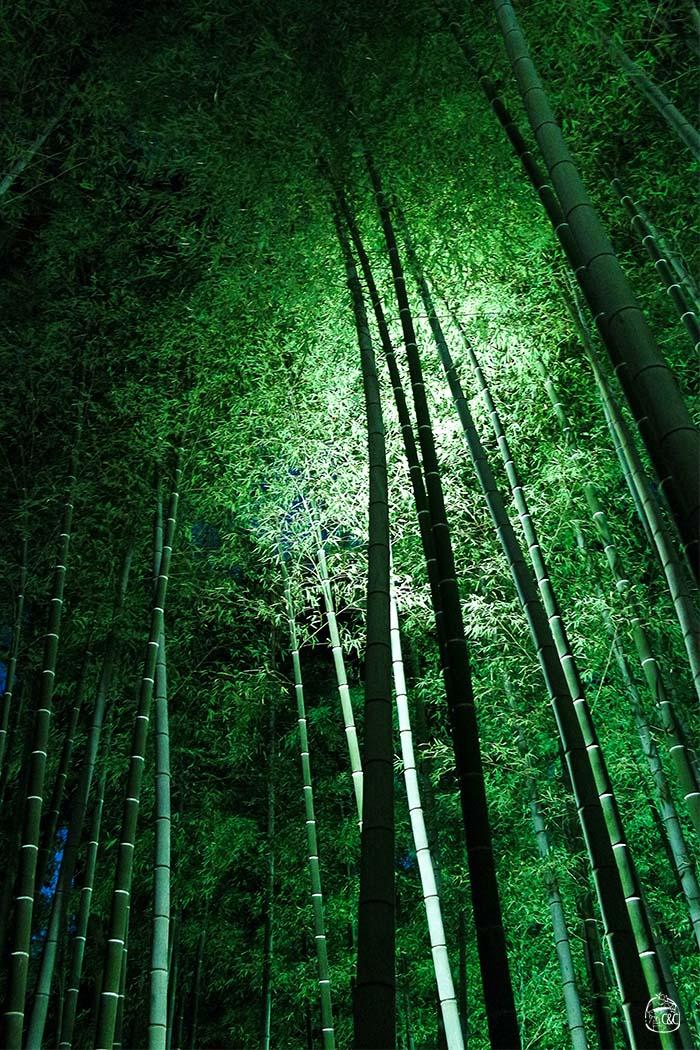 contre plongée forêt de bambous illuminés