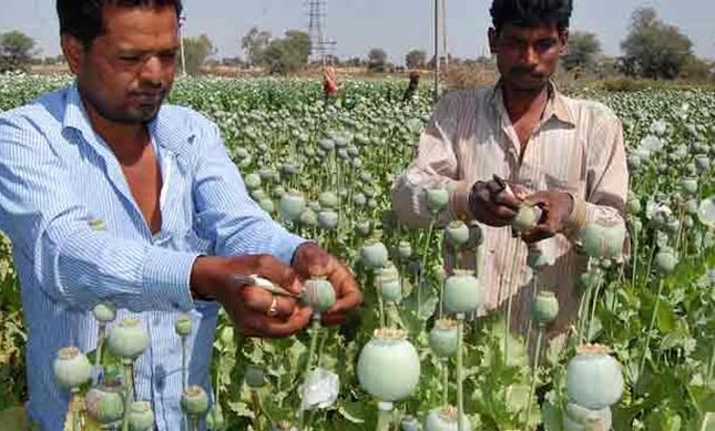 अफीम की खेती को बेहतर बनाने के कुछ उपाय