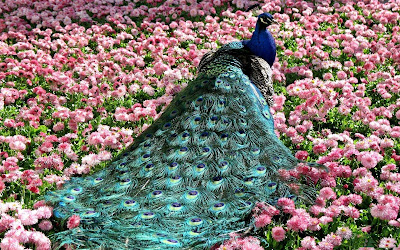 peacock-india's-national-bird
