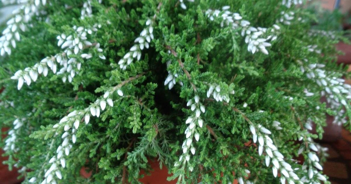 Acquisti d'autunno: Calluna Gardengirls®