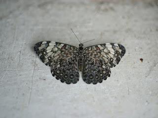 Hamadryas februa - Craqueur gris