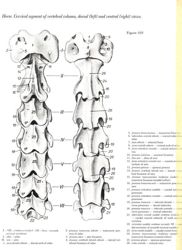 anatomia-cabeca-pescoco-neck-head-horse-cavalo-equino-vertebra