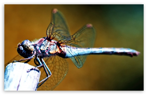Funny Dragonfly wallpaper for widescreen | Funny Wallpapers