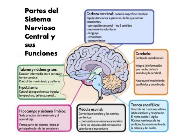 Anatomia Radiologia - Sistema Nervioso Central: Anatomía Radiológica ...