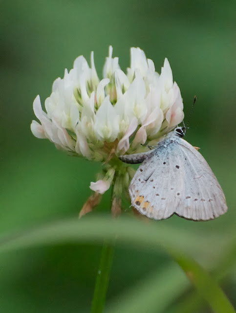 Short-tailed Blue (Everes argiades)