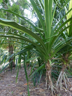 Pandanus utilis variegata - Vacoa bicolore