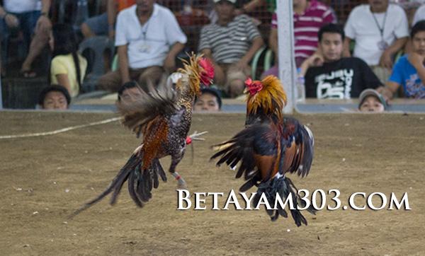 Sabung Ayam Live Streaming Di Situs Judi S128