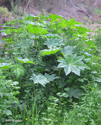 castor, Ricinus communis in a ditch in Hawaii