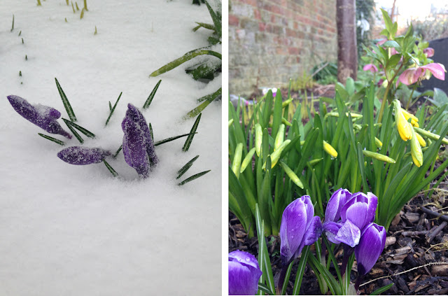 UrbanVegPatch: Crocus in snow, spring flowers