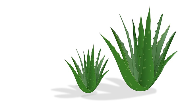 The Health Benefits of Aloe Vera and How it Can Be Used For Medicine