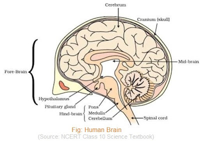 CBSE Guide NCERT Solution - Diagram of Human Brain