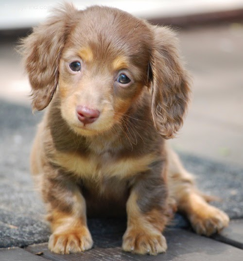 3 Top Cute  Dachshund Puppies
