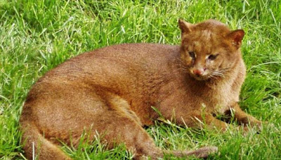 Jaguarundi - animal species that start with j