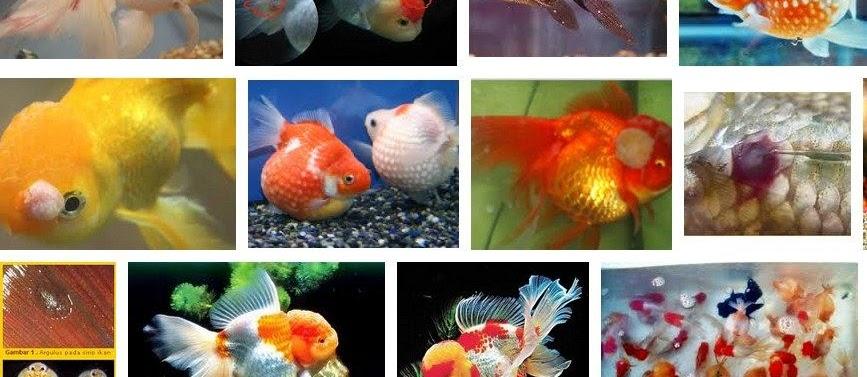 Penyakit Ikan mas Koki dan Cara Mengatasinya