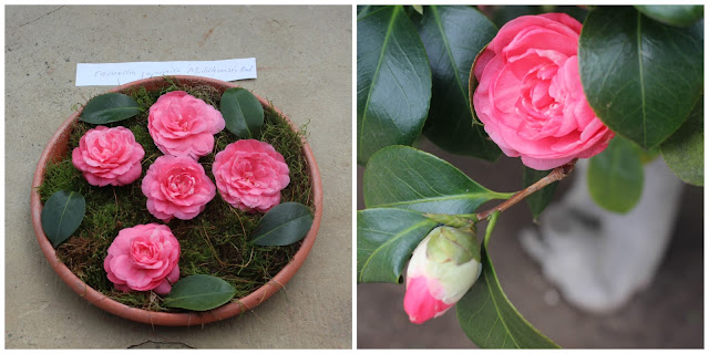 Camellia japonica 'Middlemist's Red'