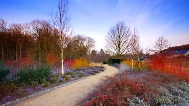 Invierno en RHS Garden Harlow Carr: Sarcococca hookeriana
