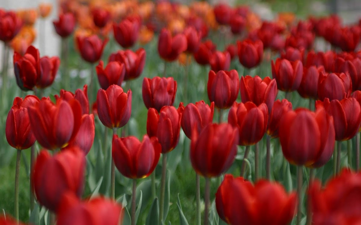 Beautiful Tulip Widescreen HD Wallpaper 8