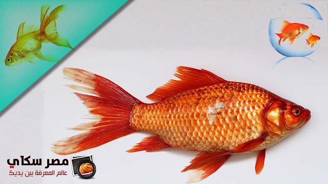 أهم الأمراض التى تصيب أسماك الزينة وطرق الوقاية والعلاج