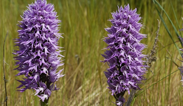 Orchis italica, Manusia Telanjang dari Tanaman Anggrek
