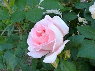 Jolies roses - Rosier cultivé