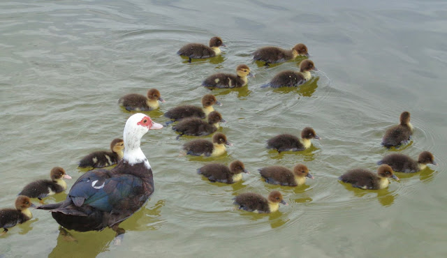 Muscovy duck and 18 chicks on a lake