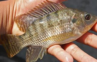 Tips dan Trik Mancing Ikan Nila liar lomba kolam sungai danau rawa mancing mania