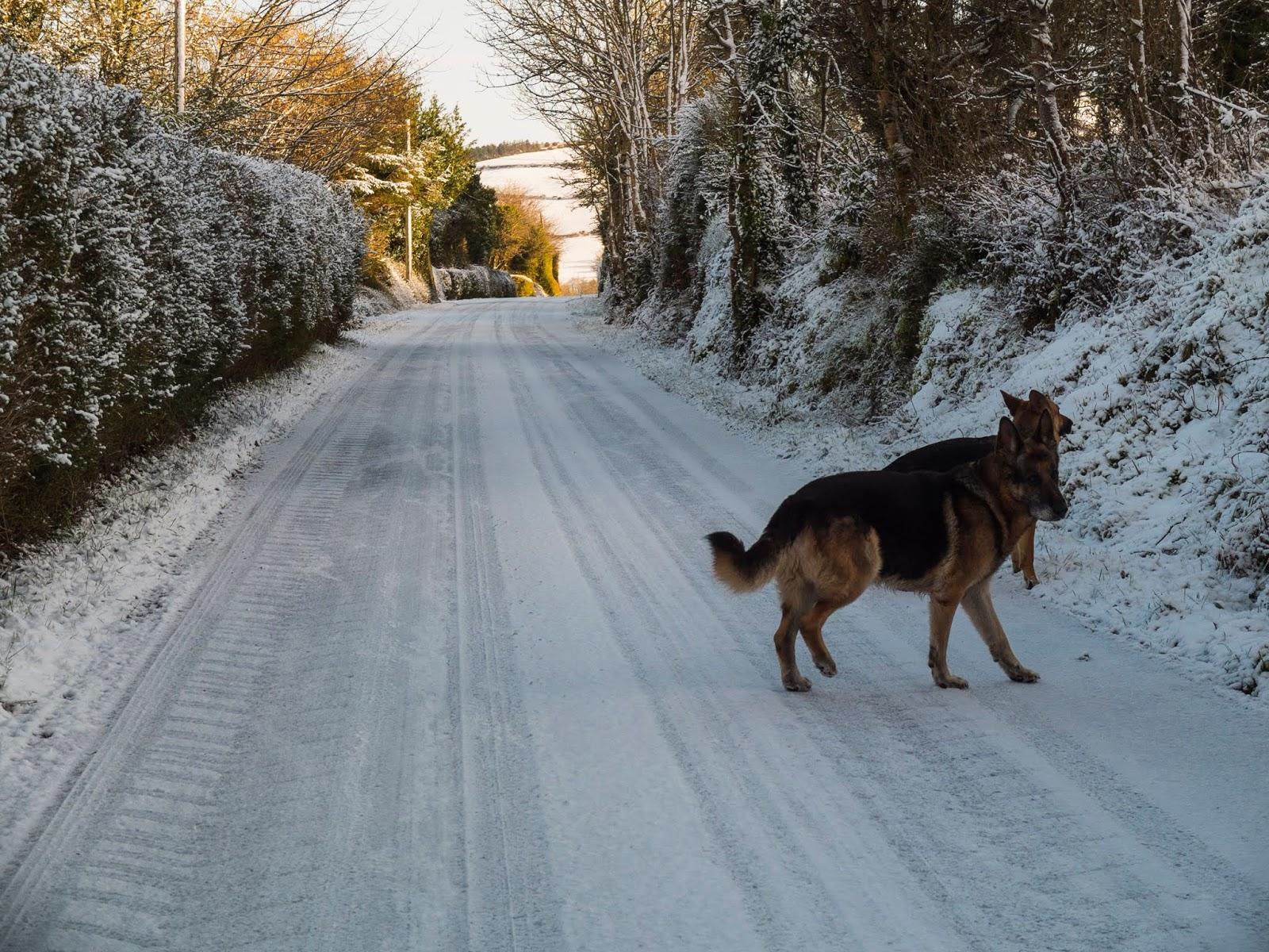 Two German Shepherds on a snowy road.
