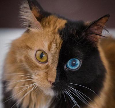 Quimera foto kucing lucu