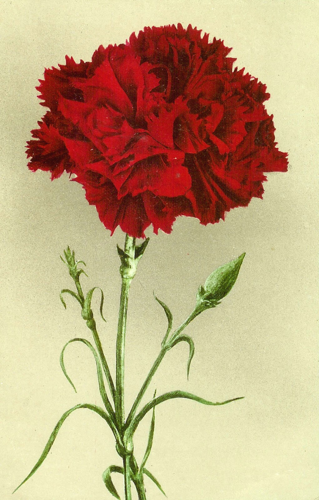 Vintage Carnation 3