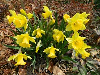 Narcissus Rijnveld's Early Sensation daffodils at Toronto Botanical Garden by garden muses-not another Toronto gardening blog