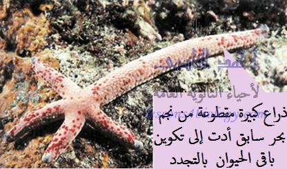 التجدد فى نجم البحر