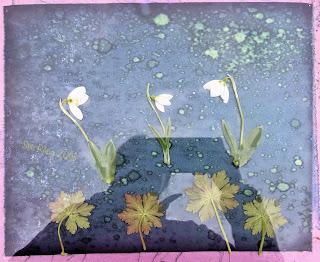 Wet cyanotype_Sue Reno_Image 264