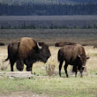 Fifth Person Injured By Bison in Yellowstone This Summer